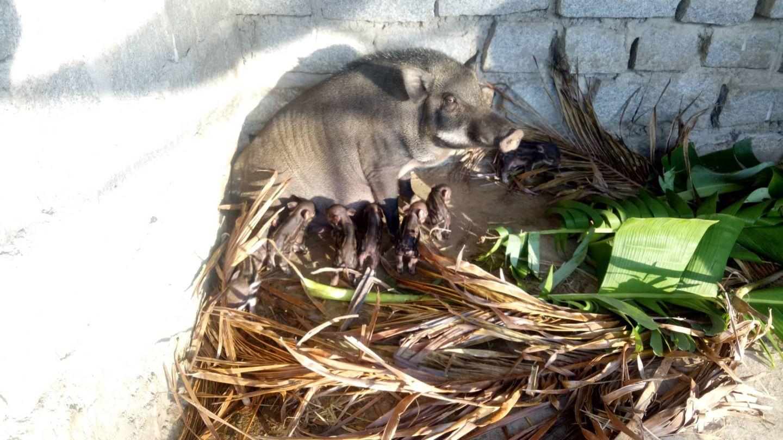 Heo rừng mới sinh tháng 10 tại trang trại Fami Khánh Hòa